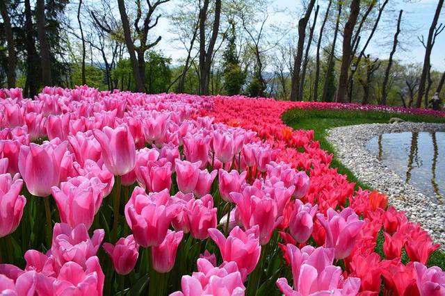 画像: 花カレンダー2021<4月1回目>『春の訪れを祝うチューリップ/トルコ・オランダ』【好奇心で旅する海外】<花咲くワールド> - クラブログ ~スタッフブログ~|クラブツーリズム