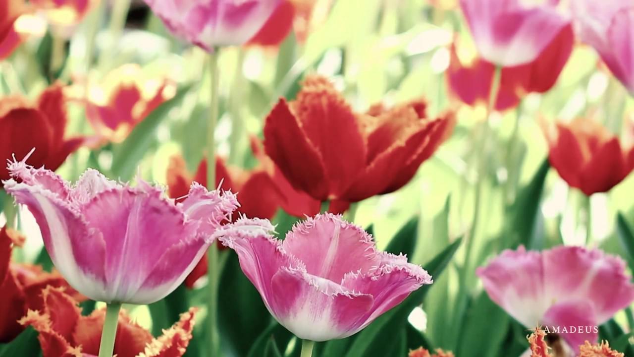 画像: Cruise with AMADEUS – Tulip Serenade youtu.be