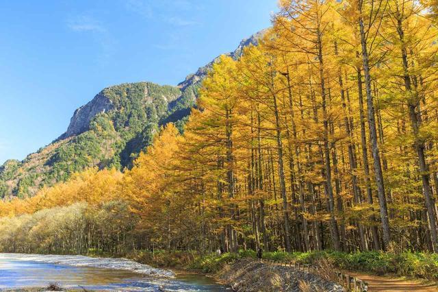 画像: カラマツの黄葉(イメージ)例年の見頃:10月中旬~下旬
