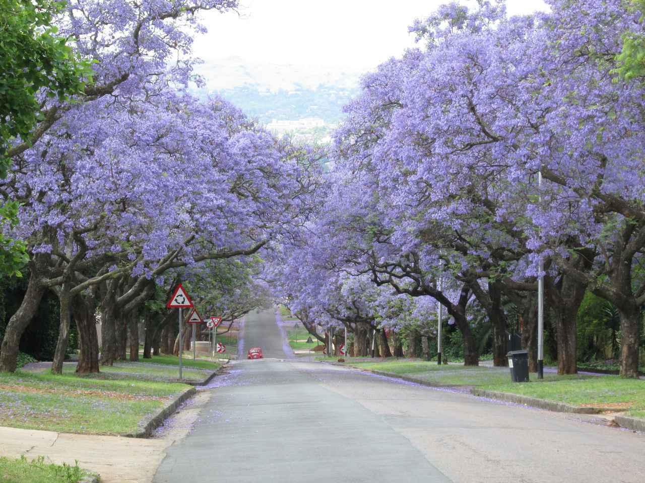画像: 南アフリカ・プレトリアのジャカランダ