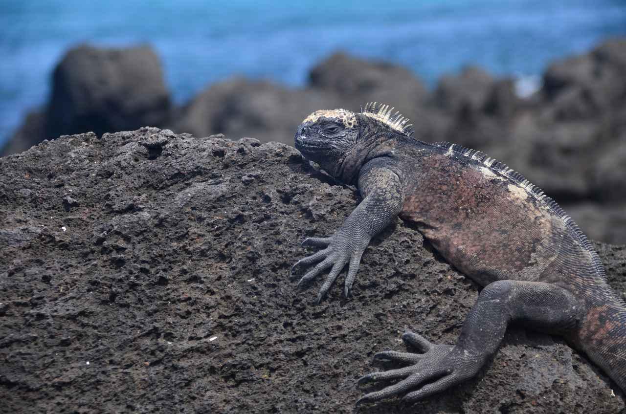 画像: ガラパゴスウミイグアナ(イメージ)