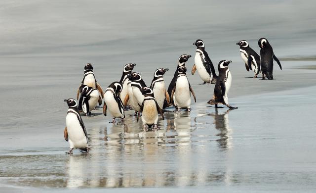 画像: ガラパゴスペンギン(イメージ)