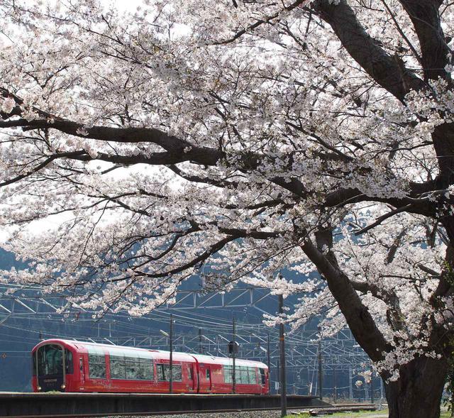画像: 桜と雪月花(能生駅)