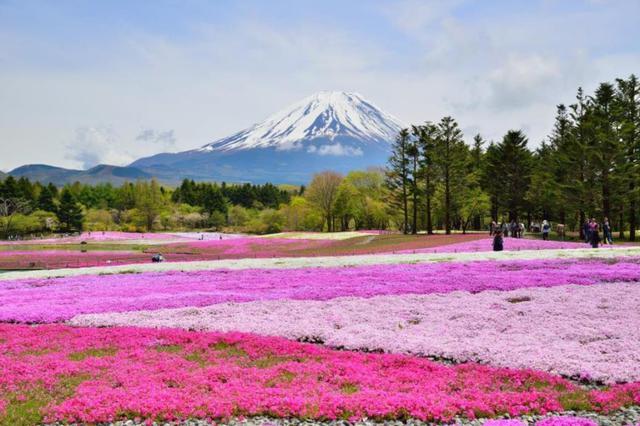 画像: 『富士を彩る約80万株の芝桜!富士芝桜まつりと山梨サクランボ狩り 「オーベルジュ・マーメイド」創作フレンチ』<四季の華/19名様以下>