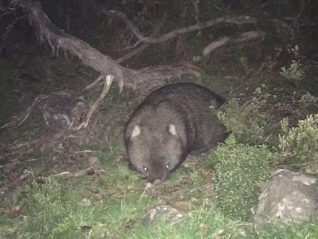 画像: ロッジ周辺を夜に散策すると、ウォンバットがたくさん!