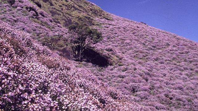 画像: 『12年に1度咲くクリンジの花 南インド花物語6日間』|クラブツーリズム