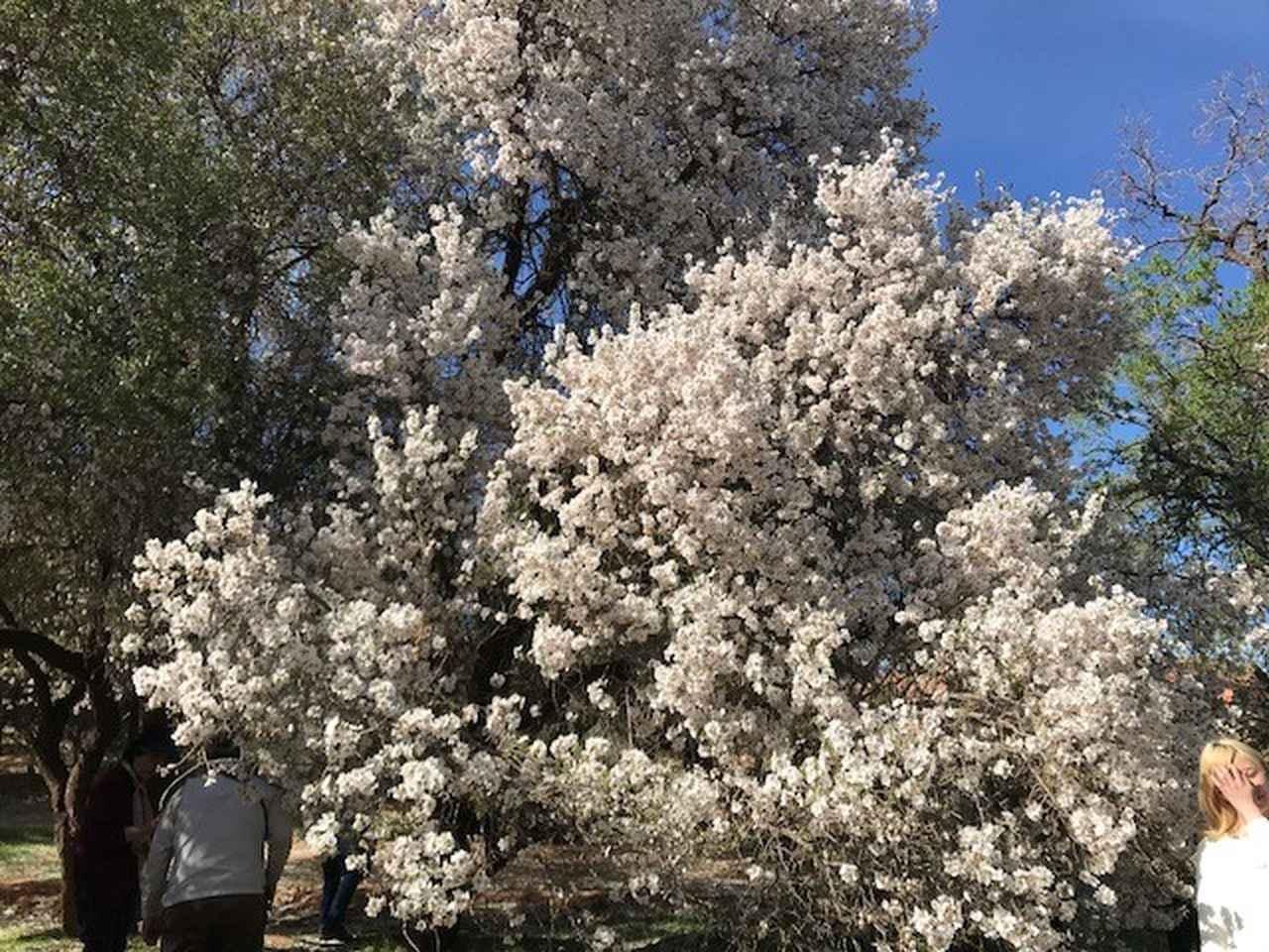 画像: 「桜」にも似た可憐な花です!