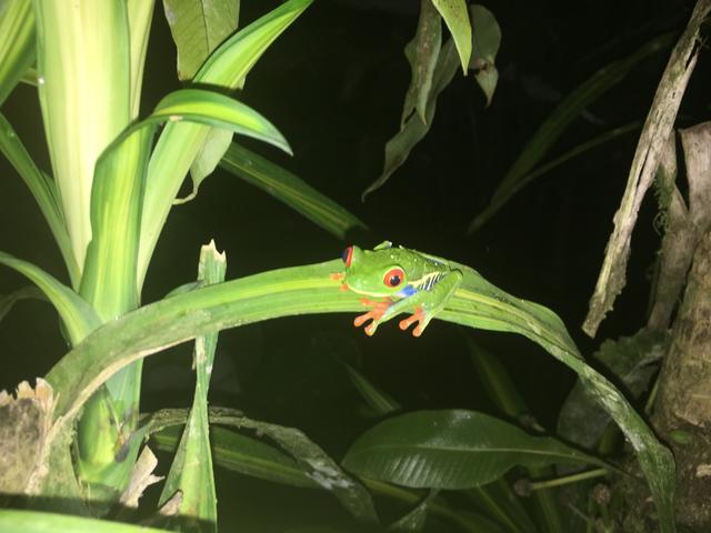 画像: こんな珍しい色のカエルも!アカメアマガエル