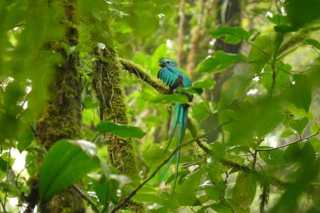 画像: 世界一美しい鳥の一種と言われている幻の鳥『ケツァール』 サンヘラルド・デ・ドータやモンテベルデ自然保護区などで見られるチャンスあり!