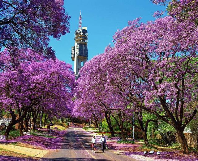 画像: 『キャセイパシフィック航空利用 ケープタウン・サファリ・ジャカランダ ふらっと南アフリカ春の休日7日間』 春の風物詩・ジャカランダを見学したい方へおすすめ!!!|クラブツーリズム