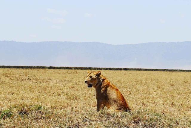 画像: ライオン(イメージ/スタッフ撮影)※諸条件によりご覧いただけない場合があります
