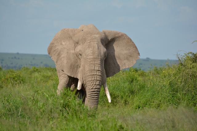 画像: アフリカゾウ(イメージ/スタッフ撮影)※諸条件によりご覧いただけない場合があります
