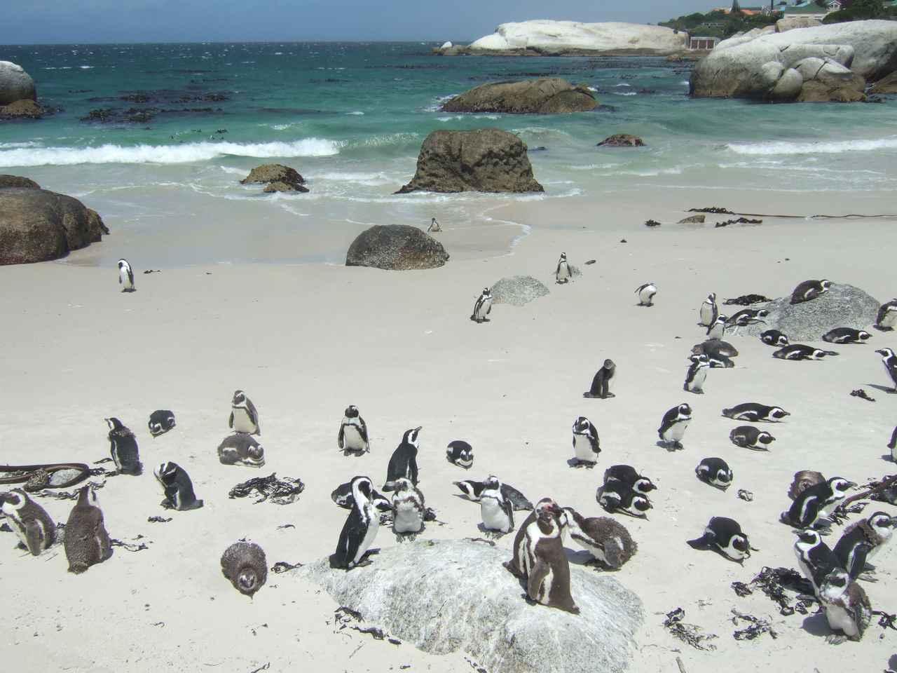 画像: ケープペンギンの営巣地 ボルダーズビーチ 可愛らしいペンギンに癒されます (弊社スタッフ撮影※諸条件によりご覧いただけない場合があります)
