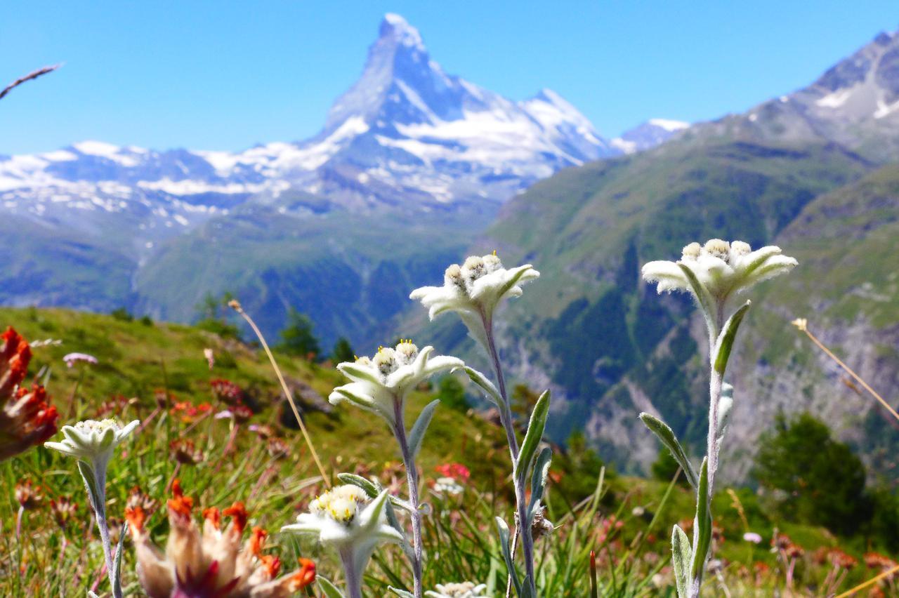 画像: エーデルワイスなどのスイスらしい高山植物を見たいなら、7月中旬までのハイキングがおすすめ!! (弊社スタッフ撮影) ※花の開花状況は自然現象のためご覧いただけない場合があります。
