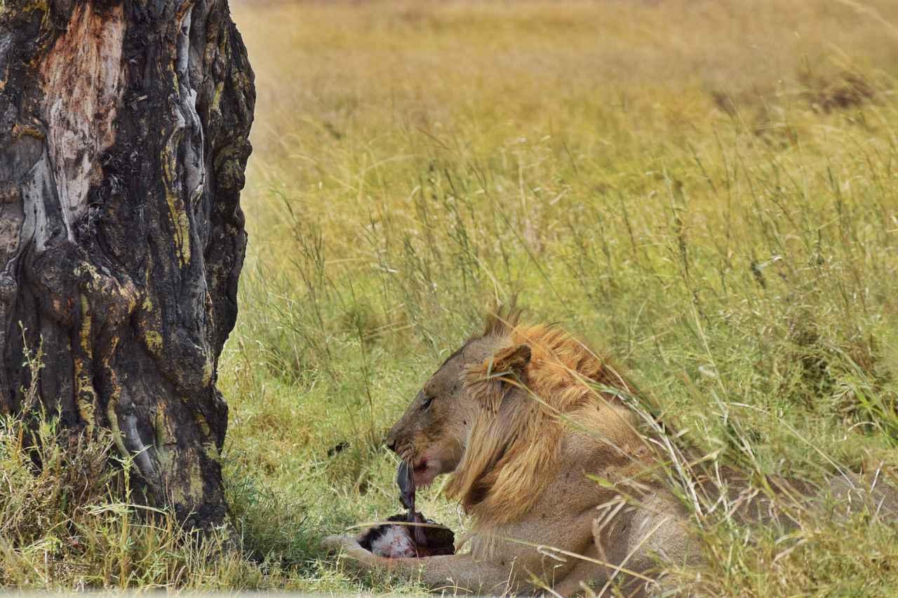画像: 獲物を食べるオスライオン