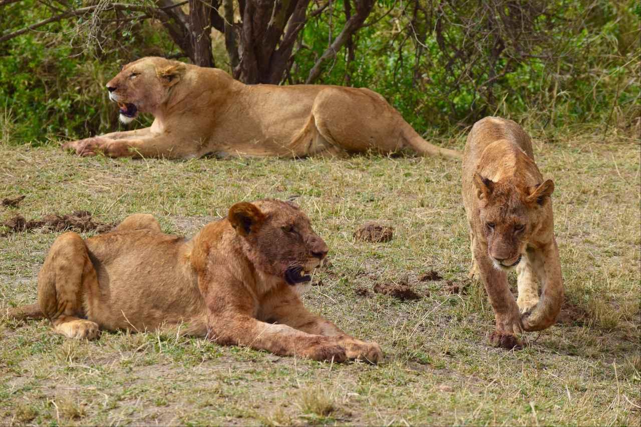 画像: メスライオンの群れ