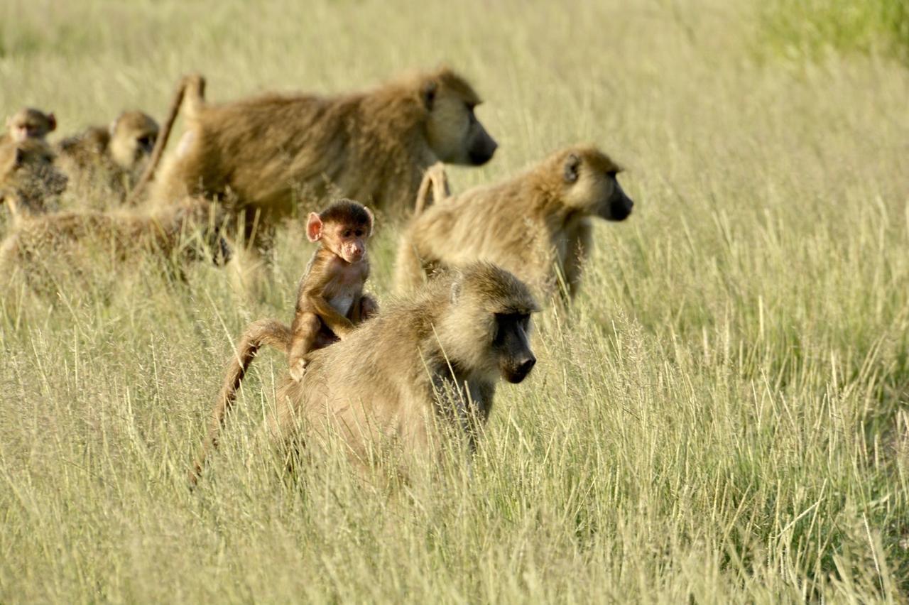 画像2: バブーンの赤ちゃん(タンザニア)