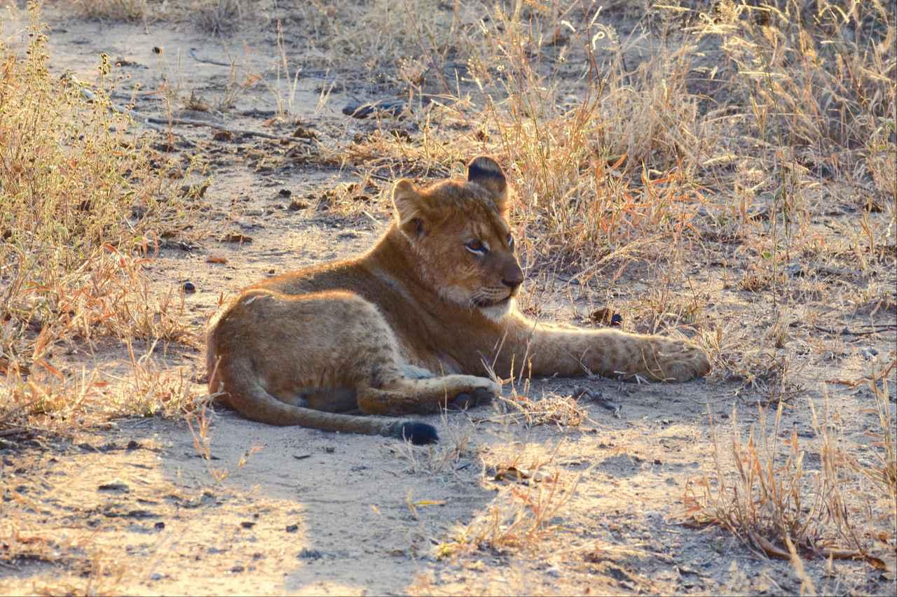 画像1: 赤ちゃんライオン