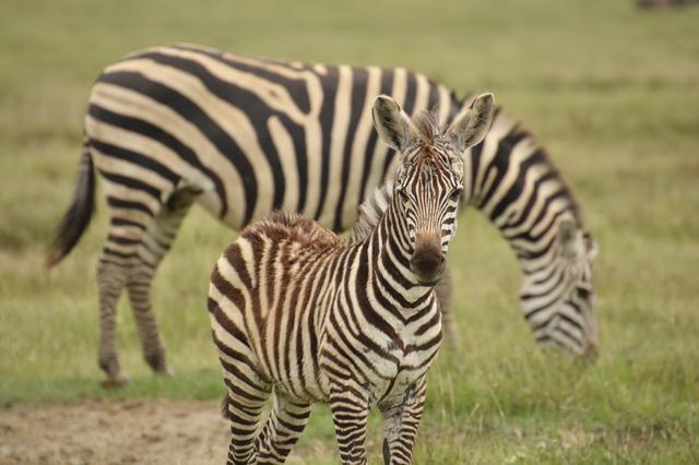 画像: シマウマの赤ちゃん(タンザニア)