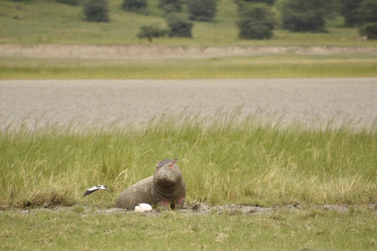 画像2: カバの赤ちゃん(タンザニア)