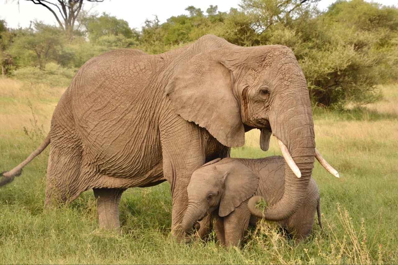 画像1: ゾウの親子