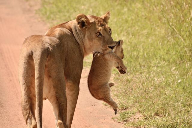 画像2: ライオンの親子