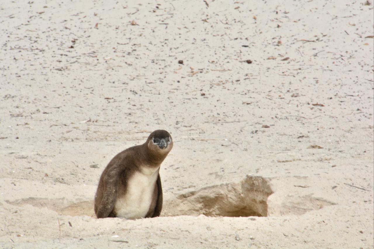 画像1: ケープペンギンの赤ちゃん