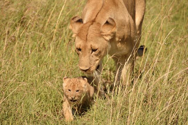 画像4: ライオンの親子