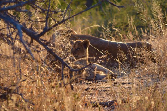 画像2: じゃれあう赤ちゃんライオン