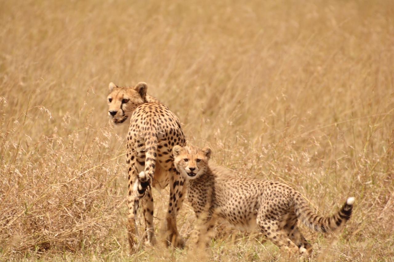 画像1: チーターの赤ちゃん(タンザニア)