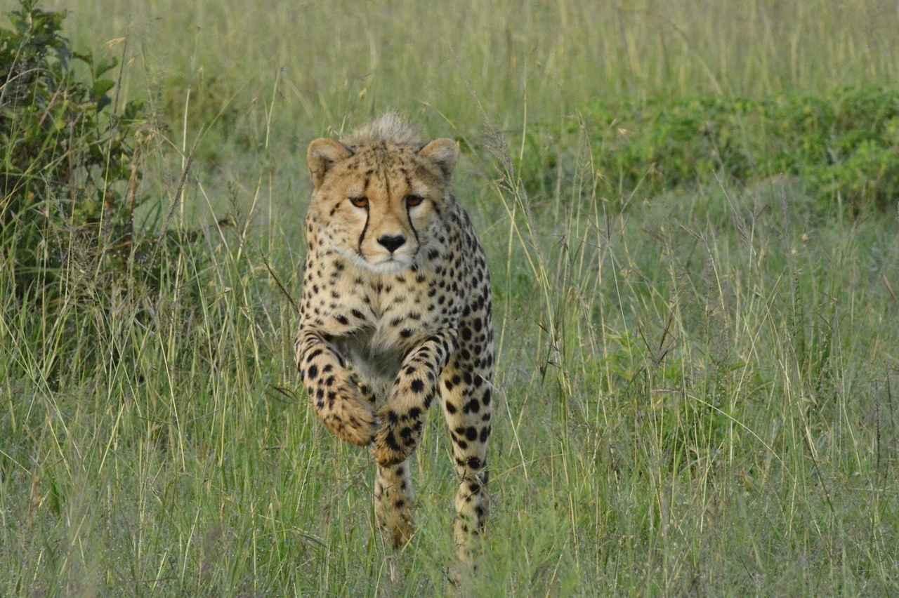 画像2: チーターの赤ちゃん(タンザニア)