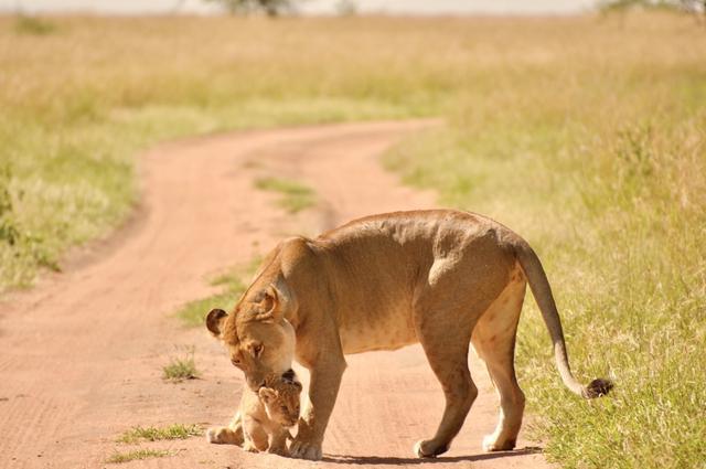 画像1: ライオンの親子