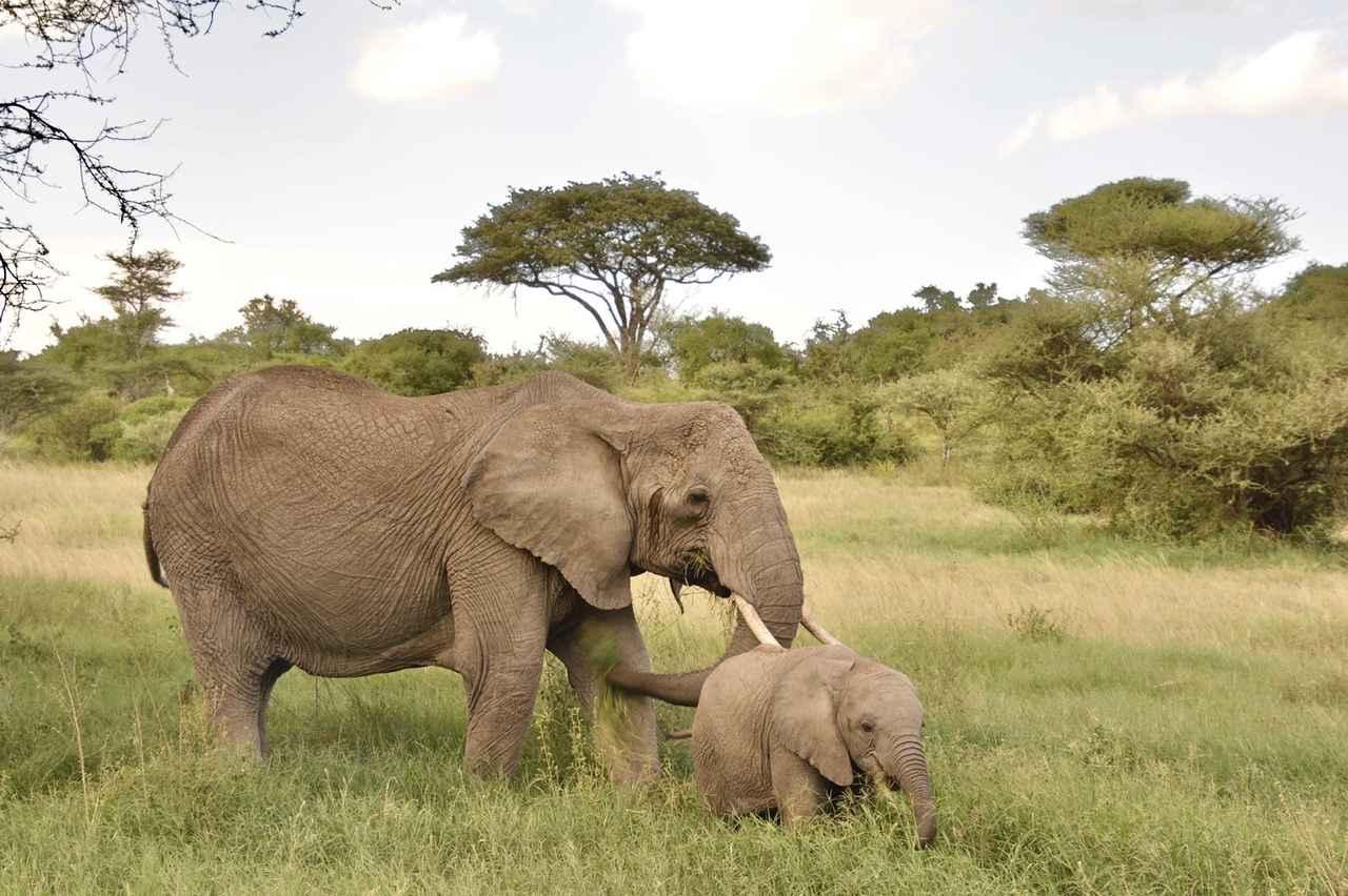 画像2: ゾウの親子