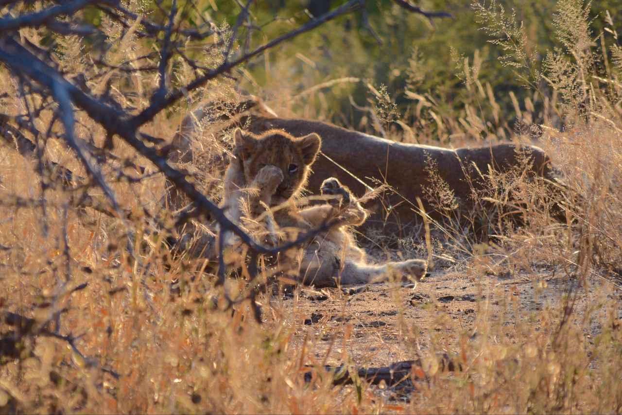 画像1: じゃれあう赤ちゃんライオン