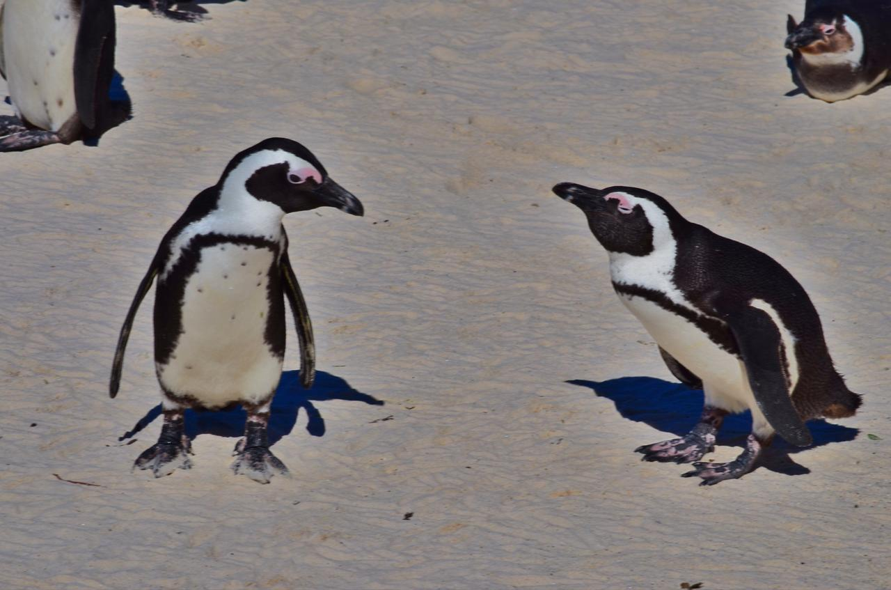 画像2: ケープペンギン
