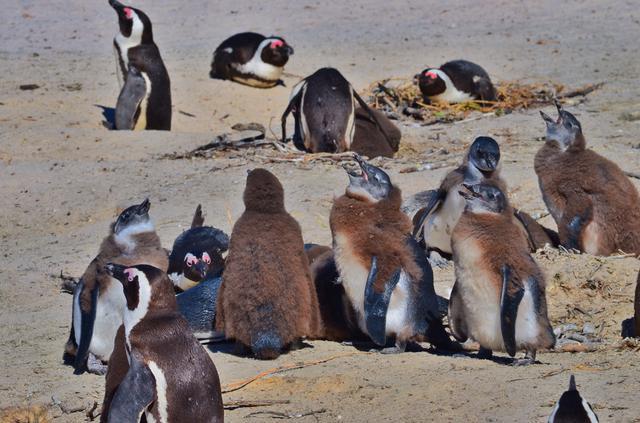 画像: ケープペンギンの毛の生え変わり