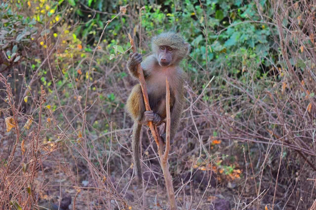 画像1: バブーンの赤ちゃん(タンザニア)
