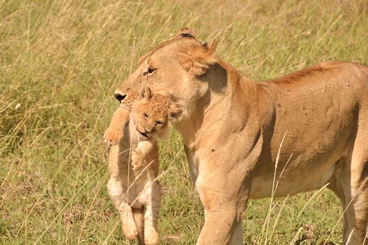 画像3: ライオンの親子