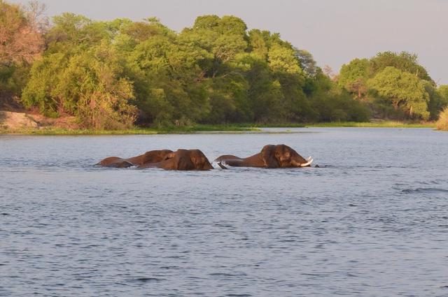 画像: 川渡りをするゾウ