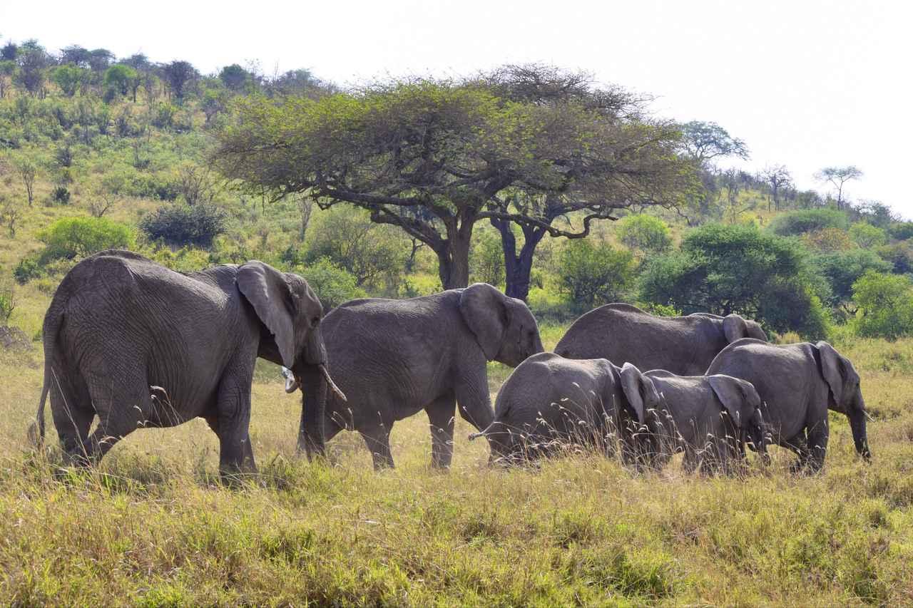 画像1: ゾウの群れ