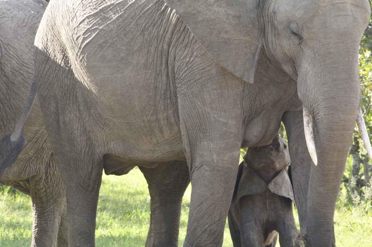 画像3: ゾウの親子