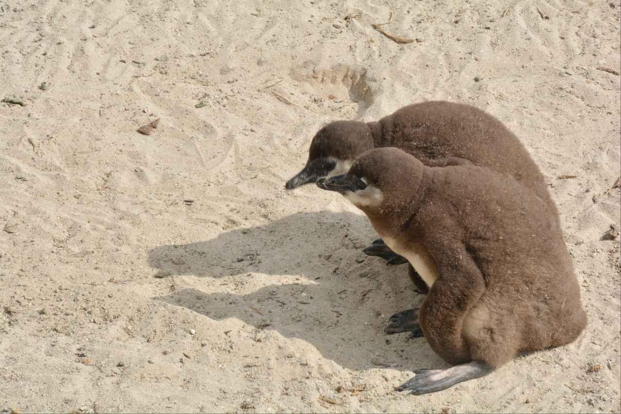 画像2: ケープペンギンの赤ちゃん