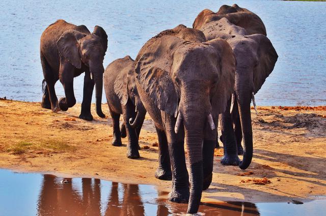 画像: チョベ国立公園で出会ったゾウの群れ