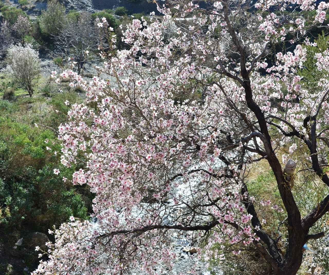 画像: アーモンドの花(お客様撮影:埼玉県在住 番場修様の作品)