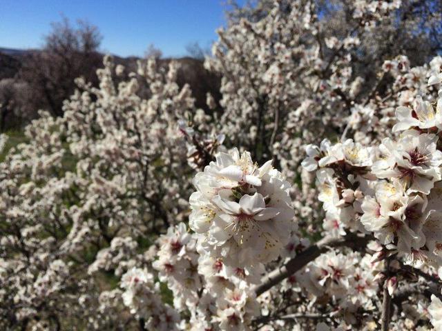 画像1: アーモンドの花(画像提供:株式会社サラムモロッコ様)(イメージ)