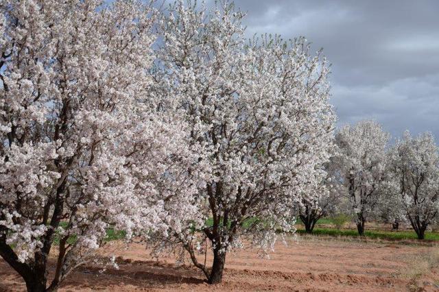 画像2: アーモンドの花(画像提供:株式会社サラムモロッコ様)(イメージ)