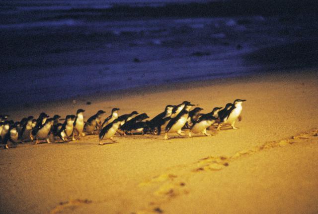 画像: 海からあがるペンギンの群れ(イメージ)