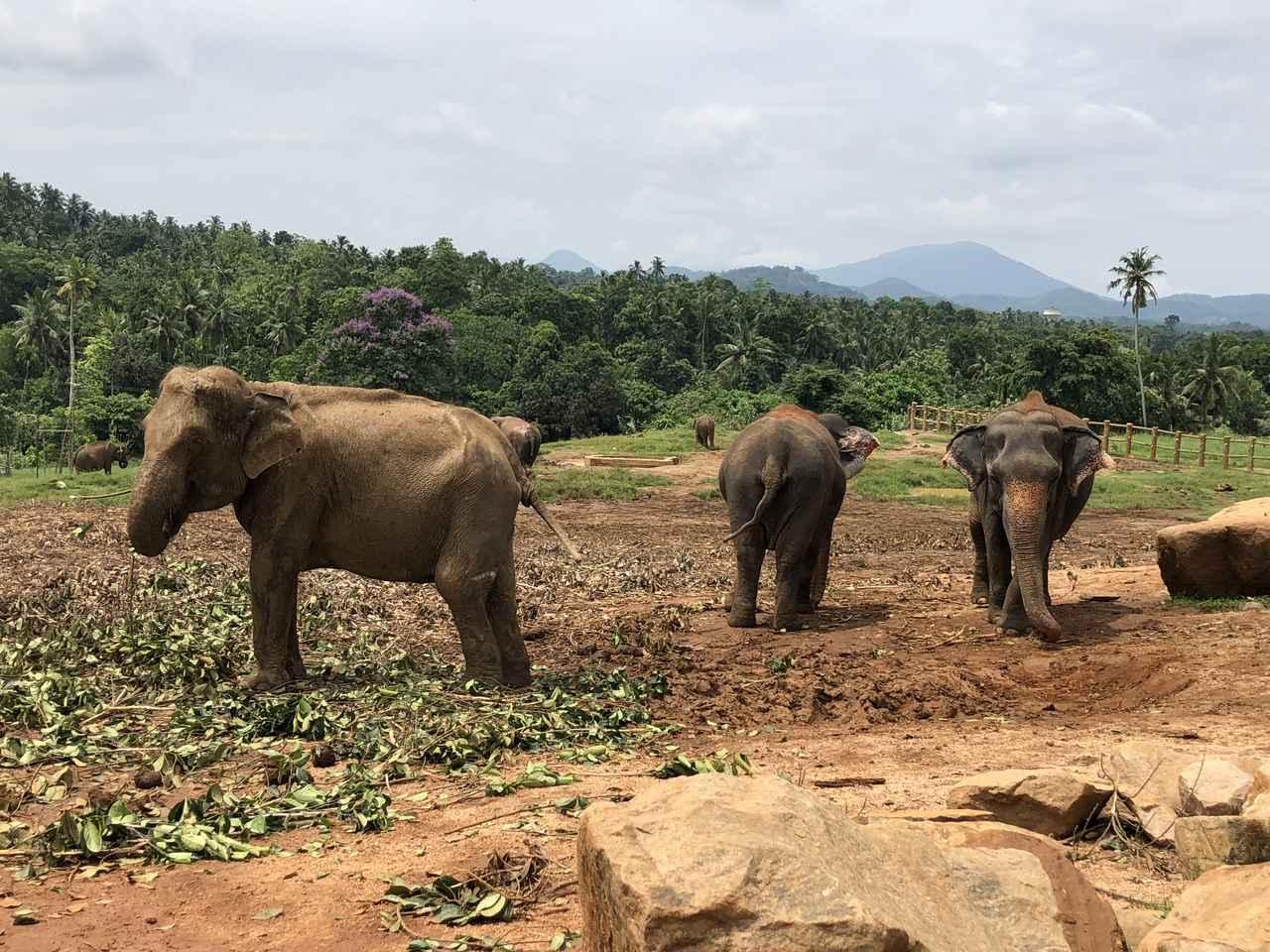 画像: ピンナワラの象の孤児院(企画担当者撮影/イメージ)