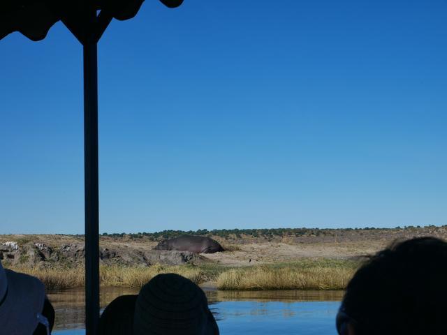 画像: 岩付近に隠れている茶色い大きなカバです(2019年7月 担当者撮影)