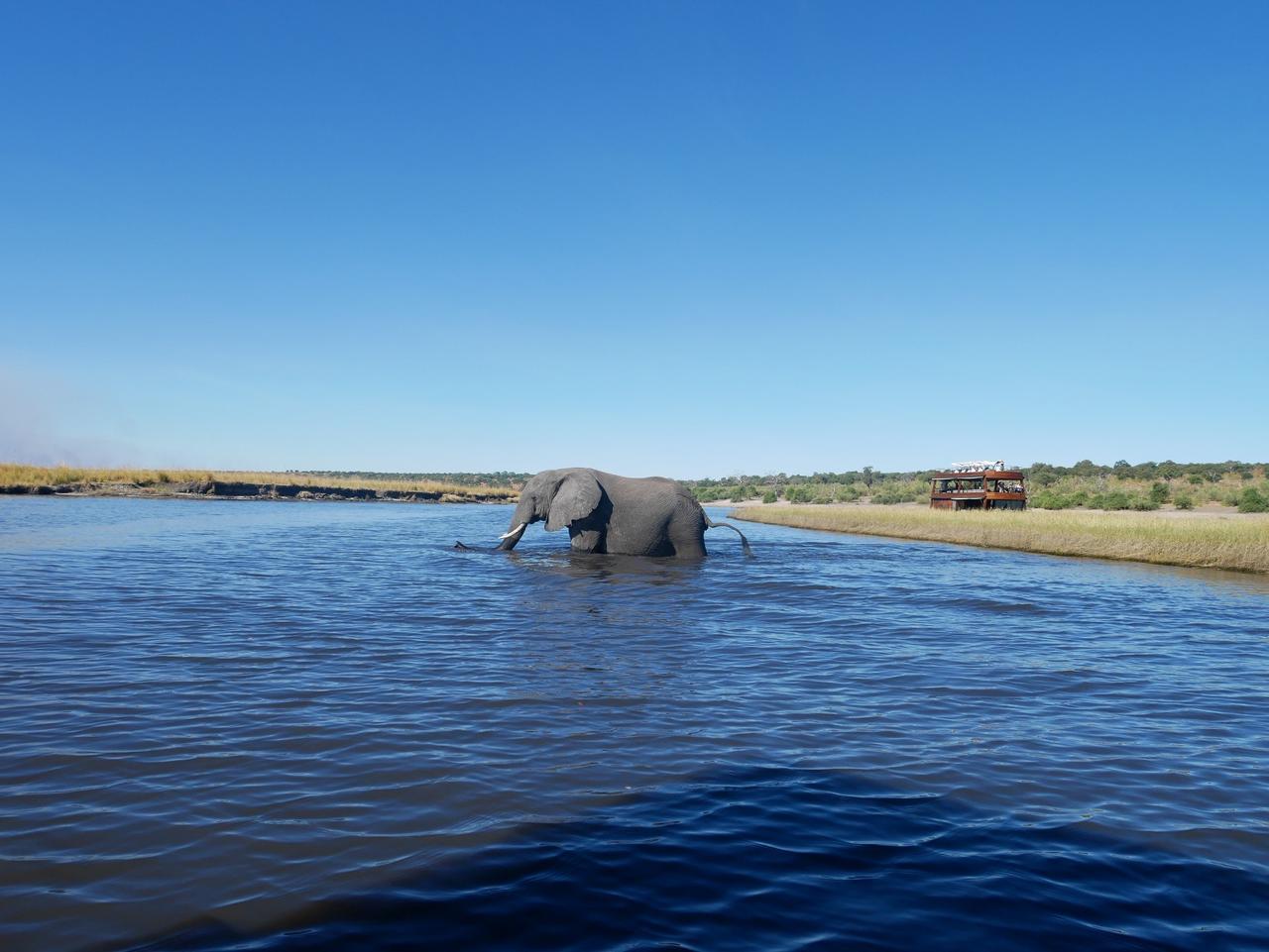 画像: 反対岸に向かってチョベ川を渡るゾウ(2019年7月 担当者撮影)